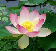 1024px-Sacred_lotus_Nelumbo_nucifera cc